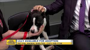 american pitbull terrier puppies for adoption pet of the week lilly is an 8 month old pit bull terrier puppy