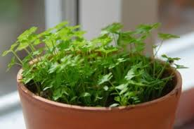 Indoor Container Gardening - indoor herb gardening information for growing and caring for