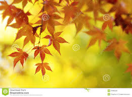 colorful japanese maple tree leaves background royalty free stock