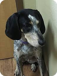 bluetick coonhound pics willow adopted dog charlotte nc bluetick coonhound mix