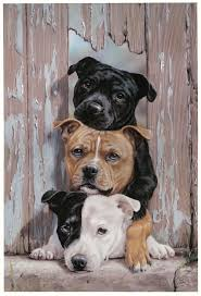 american pitbull terrier in uk the 25 best staffordshire bull terrier ideas on pinterest