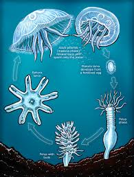 the curious story of immortal jellyfish knowledgenuts