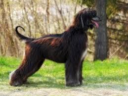 afghan hound top speed 5 personality traits of the afghan hound pets4homes