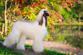 afghan hound vetstreet dogs are truly man u0027s best friend trustworthy loving and often