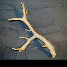 horns for sale 32 best antlers for sale images on deer antlers deer