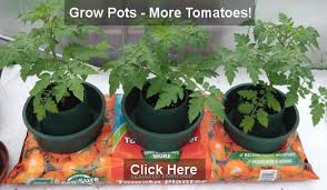 Types Of Patio Tomatoes Tomato Growing In Containers And Grow Bags Tomato Growing
