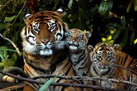 sumatran tiger and cubs brian mckay flickr