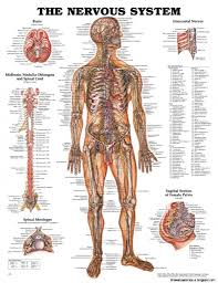 Human Anatomy Full Body Picture Human Anatomy Full Body Picture Anatomy Of The Female Human Body