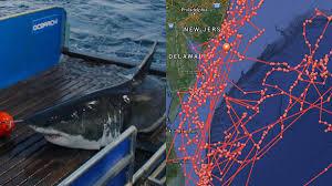 great white shark u0027mary lee u0027 returns to jersey shore nbc 10