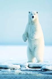 best 25 polar bear ideas on pinterest baby polar bears polar