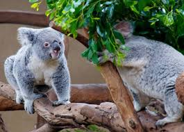 koalas occasionally spotted leaves food