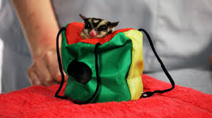 do i need a sugar glider permit howcast the best how to