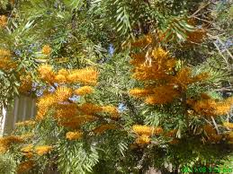 australian native plants pictures and names grevillea robusta u2013 silky oak gardening with angus
