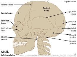 Human Anatomy Skeleton Diagram Human Anatomy Skeletal Atlas Human Anatomy Charts