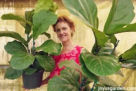 Fiddle Leaf Fig Tree Care by Houseplant Love Care Tips For The Fabulous Fiddleleaf Fig
