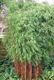 Patio Lawn And Garden Amazon Com U0027scabrida U0027 Chinese Clumping Bamboo Fargesia 4
