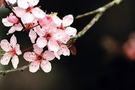 japanese cherry blossom wallpaper wallpapersafari
