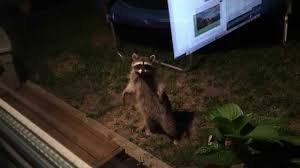 raccoon in the back yard youtube