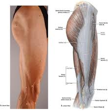 Lateral Patellar Ligament Duke Anatomy Lab 2 Pre Lab Exercise