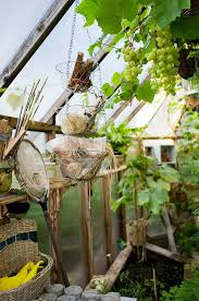 Planting Grapes In Backyard 53 Best Plant Grapes Images On Pinterest Growing Grapes Grape