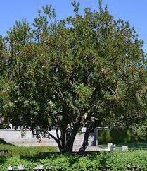 strawberry tree drought tolerant trees san diego
