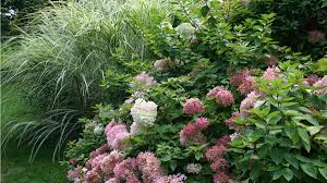 hydrangea why we love panicle hydrangeas grow beautifully