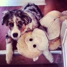 e locus australian shepherd australian shepherd puppy kylie grace happiness pinterest