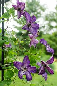 476 best my clematis h e aven images on pinterest clematis