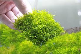 mini christmas moss mesh pad u2013 vesicularia sp live aquarium plant