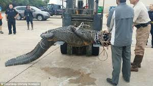 home depot rocking horse black friday wranglers need home depot forklift to move 900 pound alligator in