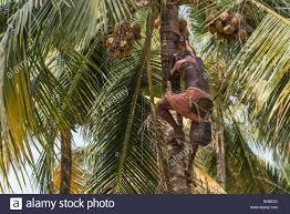 man climbing palm tree toddy stock photos u0026 man climbing palm tree