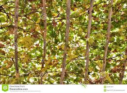 grape trellis stock photo image 66437664