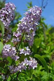 Shrub With Fragrant Purple Flowers - purchasing a lilac can be tricky not all lilacs are fragrant