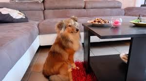 comment empecher mon chien de monter sur le canapé comment empêcher mon chien de voler de la nourriture