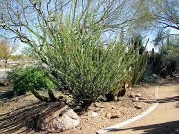 mexican tree ocotillo fouquieria macdougalii xeriscape