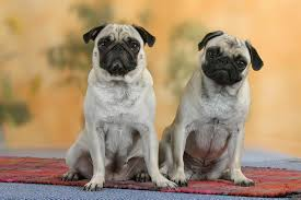 pug dog breed profile and information