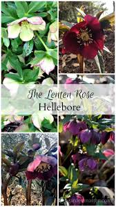 light at the end of the tunnel the lenten rose hearth u0026 vine