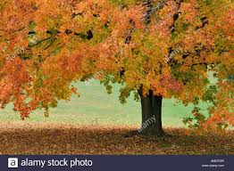 sugar maple tree with peak autumn color harrison county indiana