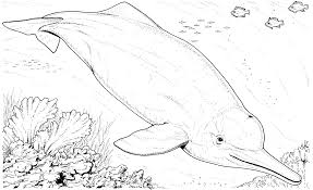 dolphins clipart baiji pencil and in color dolphins clipart baiji