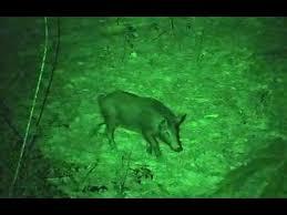 green light for hog hunting piglet kill light green bow light hunt youtube