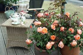 Fragrant Patio Plants - best english roses for pots and containers