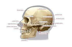 Base Of The Skull Anatomy Human Being U003e Anatomy U003e Skeleton U003e Lateral View Of Skull Image