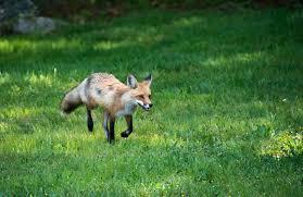 New England Backyards by Carol U0027s View Of New England Fox