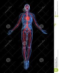 Human Anatomy Martini Human Vascular System Royalty Free Stock Photos Image 15435198