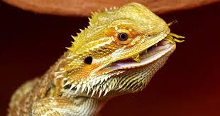 Bearded Dragon Halloween Costume Vegetables Feed Bearded Dragons Wide Open Pets
