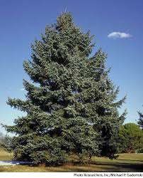 blue spruce dictionary definition blue spruce defined