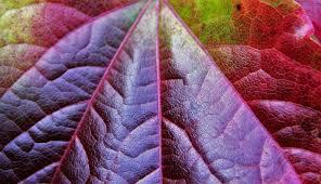 free images nature plant vine texture flower purple petal