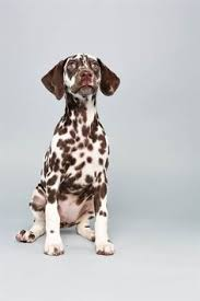 images dalmatians signs dalmatian stock photography image