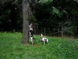 bluetick coonhound pitbull mix bluetick coonhound and walker mix treeing a dead coon youtube