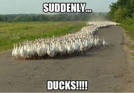 Funny Duck Meme - suddenly ducks funny animal meme